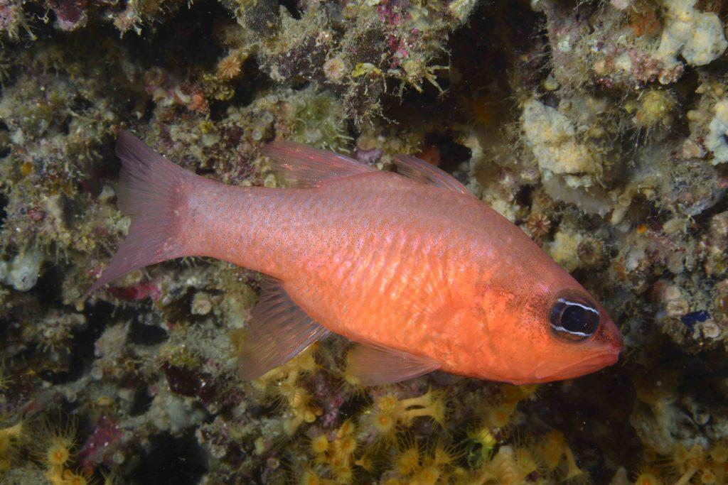pez-entero